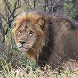 Lion Research - Victoria Falls Wildlife Trust