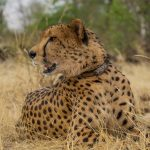 Victoria Falls Wildlife Trust announces passing of cheetah ambassador, Sylvester.