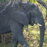 Good news on elephant conservation!