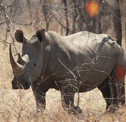 Rhino Conservation - Victoria Falls Wildlife Trust